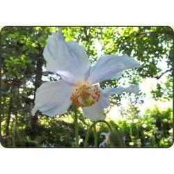 Biały mak tybetański (Meconopsis baileyi alba)