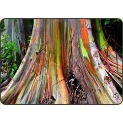 Eukaliptus tęczowy (Eucalyptus deglupta)