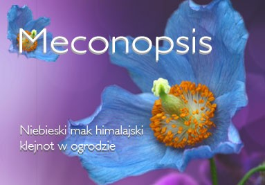 Meconopsis - niebieska piękność z Himalajów