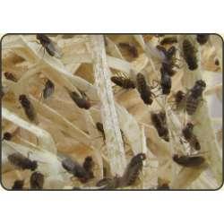 Muszki owocowe (Drosophila hydei) - szczep nielotny