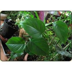 Scindapsus - Epipremnum pinnatum