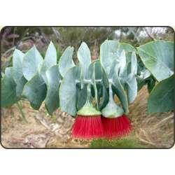 Mieszanka kaktusów - mrozoodporne - 0,2g
